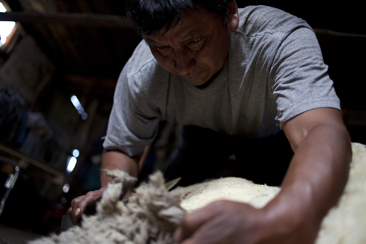 Atilio Curiñanco hand-shearing a sheep.